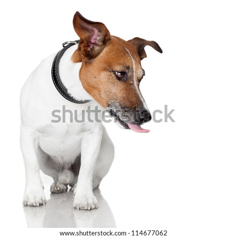 dog licking tongue hungry - stock photo