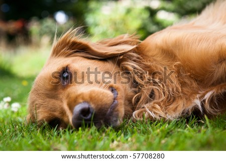 Dog lieing on its side looking into the camera - stock photo