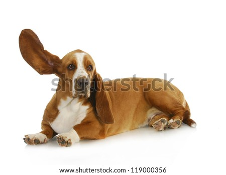 dog listening - basset hound with one ear up listening - stock photo