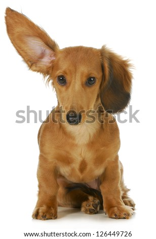 dog listening - miniature long haired dachshund with one ear up listening isolated on white background - stock photo