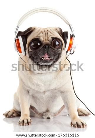 dog listening to music. Pug Dog with big eyes  isolated on White Background - stock photo