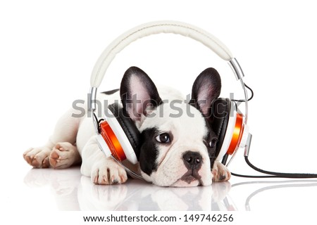 dog listening to music with headphones isolated on white background. French bulldog puppy portrait on a white background - stock photo