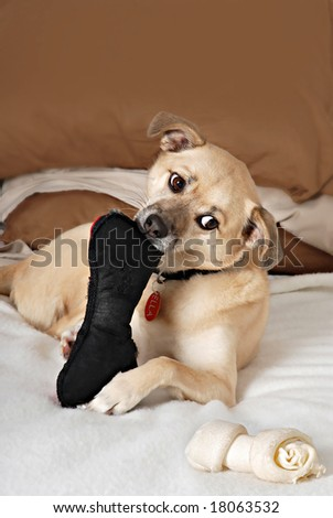 dog looking at rawhide bone while chewing on a toy bone - stock photo