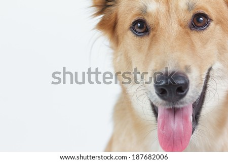 Dog looking directly  camera with happy face.  - stock photo