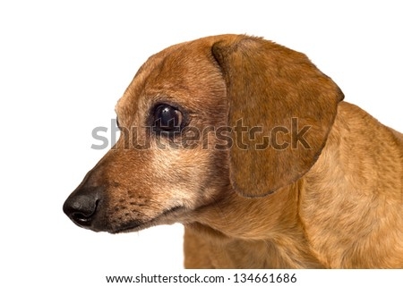 Dog Looking Sideways/Close Up/ Isolated On White - stock photo