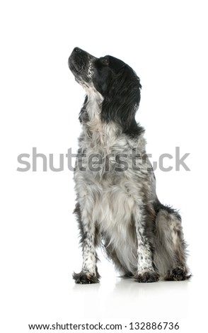 dog looking up - spaniel sitting with head looking up sideways on white background - stock photo