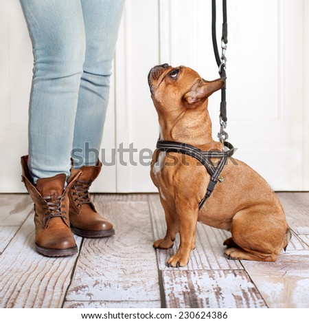 dog looking up to owner waiting to go walkies  - stock photo