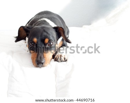 dog lying on a bed2