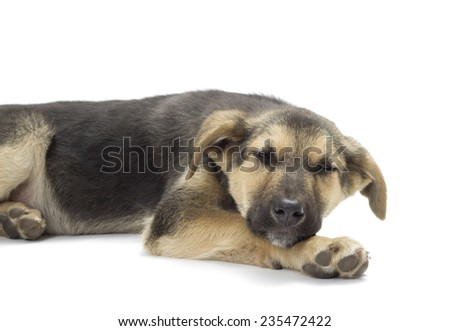 dog lying on a white background