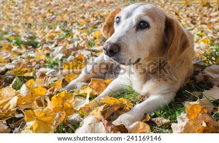 Dog lying on autumn leaves - stock photo