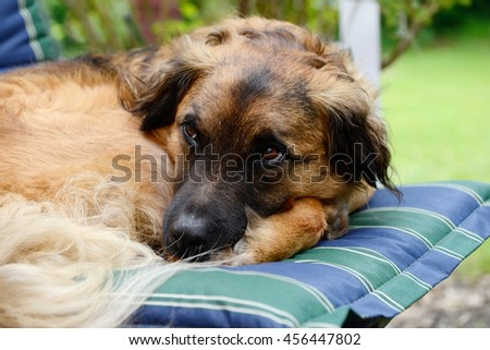 dog lying on garden chair and looking