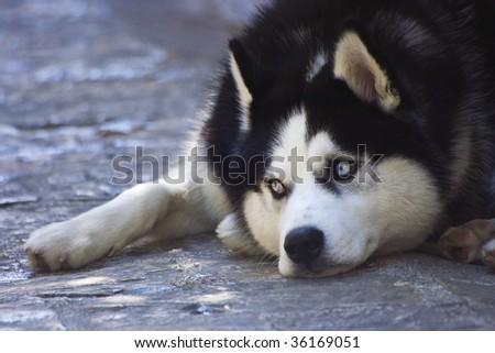 Dog, lying on the roadway #2 - stock photo