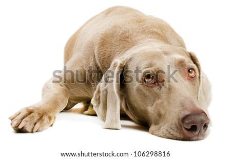 Dog lying   on white background - stock photo