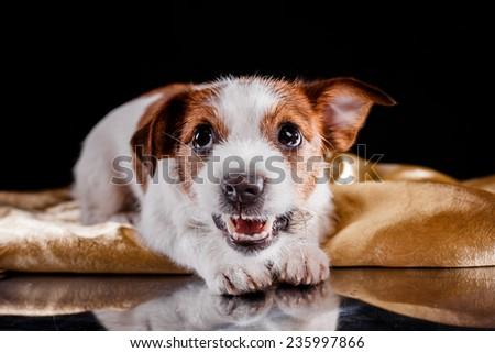 dog lying, sad looks, plays - stock photo