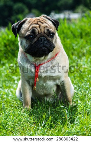 Dog Mops plays on nature - stock photo