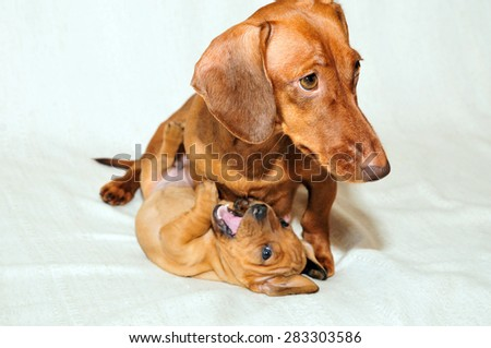 Dog mother plays with her puppy. Puppy female. The breed of the dog smooth coated standard dachshund. - stock photo