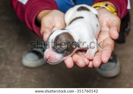 Dog new born puppy in the caring hands, Selective focus, shallow depth of field. - stock photo