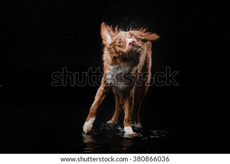 Dog Nova Scotia Duck Tolling Retriever,  dog Motion in the water, active dogs, aqueous shooting - stock photo