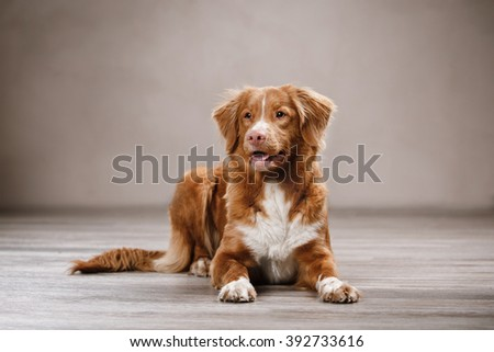 Dog Nova Scotia Duck Tolling Retriever, portrait on a studio color background