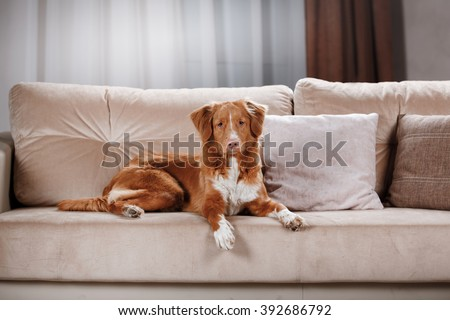 Dog Nova Scotia Duck Tolling Retriever, portrait on a studio color background, lying on a chair