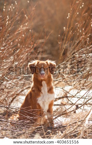 Dog Nova Scotia Duck Tolling Retriever walking, playing, running, jumping in the park in spring - stock photo