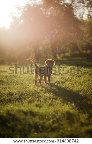 Dog Nova Scotia Duck Tolling Retriever walks in the summer park - stock photo