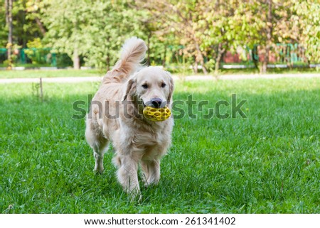 Dog of breed a golden retriever goes on a grass with a toy in teeth - stock photo