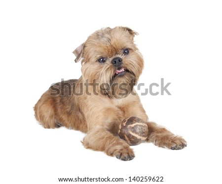 dog of breed a griffin on a white background