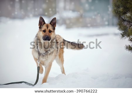 Dog of breed a sheep-dog on walk in the winter. - stock photo