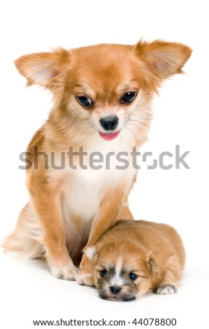 Dog of breed chihuahua and its puppy