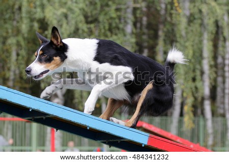 Dog of breed of the Collie at competitions of agility