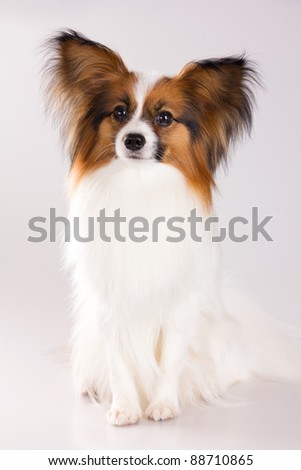 Dog of breed papillon on a gray background