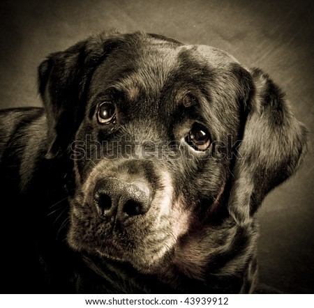 Dog of breed rottweiler. - stock photo