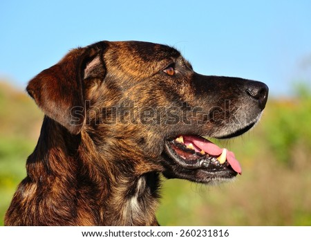 Dog of Canary islands - stock photo