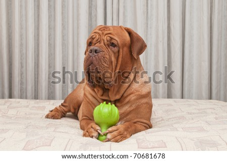 Dog of Dogue De Bordeaux Breed is lying on master's bed holding toy in her paws - stock photo