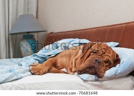 Dog of Dogue De Bordeaux breed is Sleeping on Master's Bed - stock photo