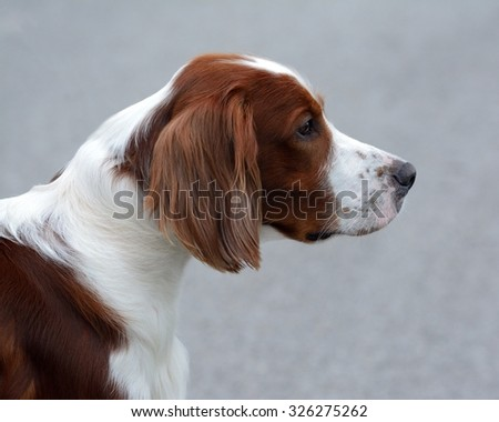 Dog of the breed Irish Red and White Setter