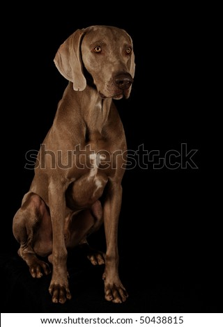 Dog on a black background. Weimaraner - stock photo