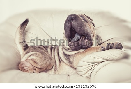 dog on chair - stock photo