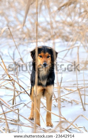 dog on frosty lake in winter - stock photo