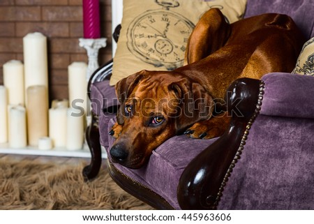 Dog on sofa in front of fireplace watching its master - stock photo