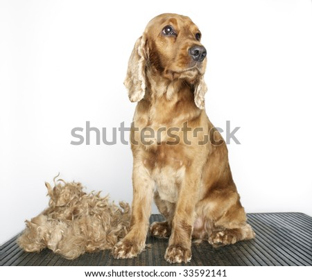 dog on table next to newly clipped fur - stock photo