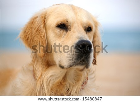 dog on the beach - golden retriever, close-up shot - stock photo