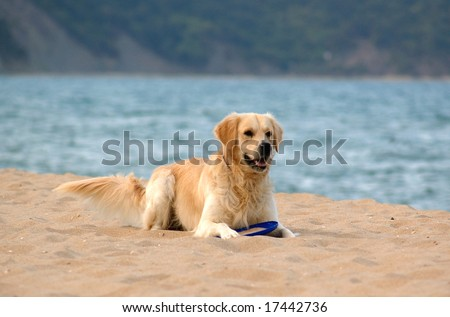 dog on the beach - golden retriever, playing with frisby - stock photo