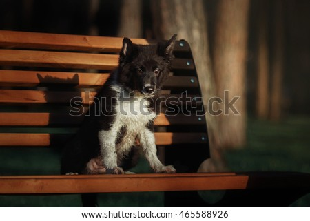 Dog on the bench. Border collie puppy