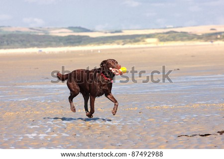 dog playing ball on the beach in summer - stock photo