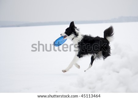 Dog playing frisbee in winter - stock photo