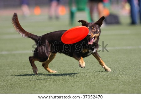 Dog playing in flying disk - stock photo