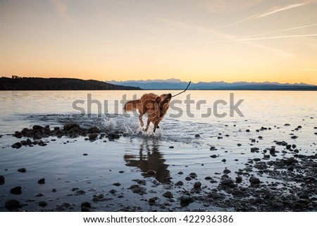 Dog Playing in Water with Stick