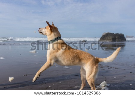Dog playing on Oregon coast in sunshine